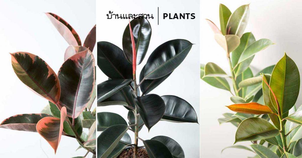ต้นยางอินเดีย (Rubber Plant) ปลูกในบ้านต้องดูแลอย่างไร - บ้านและสวน