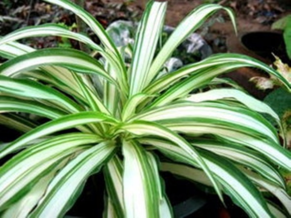 ว่านเศรษฐีเรือนใน spider plant ว่านมงคล ว่านเมตตามหานิยม ว่าน ไม้มงคล ว่าน เศรษฐี ต้นไม้มงคล ต้นไม้มหาเศรษฐี ต้นแมงมุม Airplane Plant ต้นเครื่องบิน  เสริมโชค เสริมดวงชะตา ปลูกแล้วรวย   Lazada.co.th